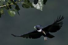 Black Baza Bird