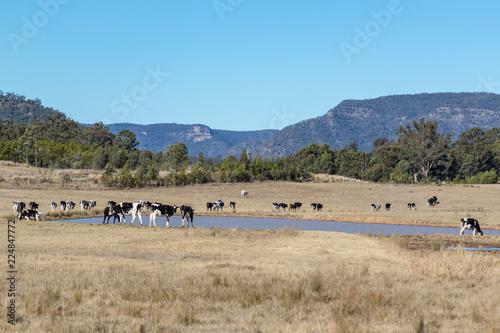 Fotobehang Pool Cows in paddock with rural landscape