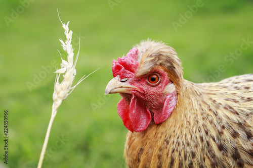 Keuken foto achterwand Kip red-haired chicken eats wheat grains from a spikelet in the yard of a summer farm