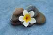 white flower between stones for massage treatment on blue table background.