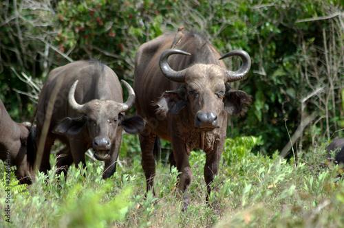 Staande foto Buffel Büffel