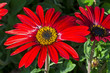 canvas print picture - Bright red and yellow cultivated garden flower