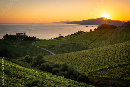 Txakoli white wine vineyards at sunrise, Cantabrian sea in the background, Getaria, Spain