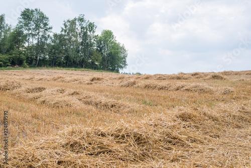 Foto Stroh des Getreides Roggen auf einem Feld in Bayern, Deutschland