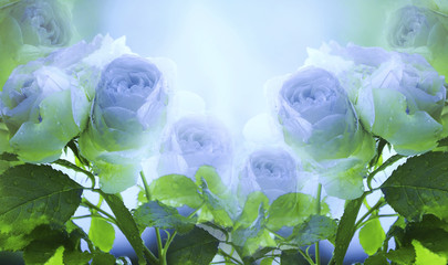 Fototapeta Kwiaty Floral summer white-blue beautiful background. A tender bouquet of roses with green leaves on the stem after the rain with drops of water. Flower composition. Greeting card. Nature.