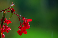 Red Impatiens Flower On Green ...