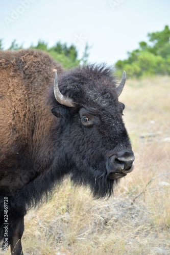 Spoed Foto op Canvas Bison close up of a bison
