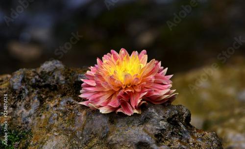 Fotobehang Dahlia a single, discarded flower on a rock