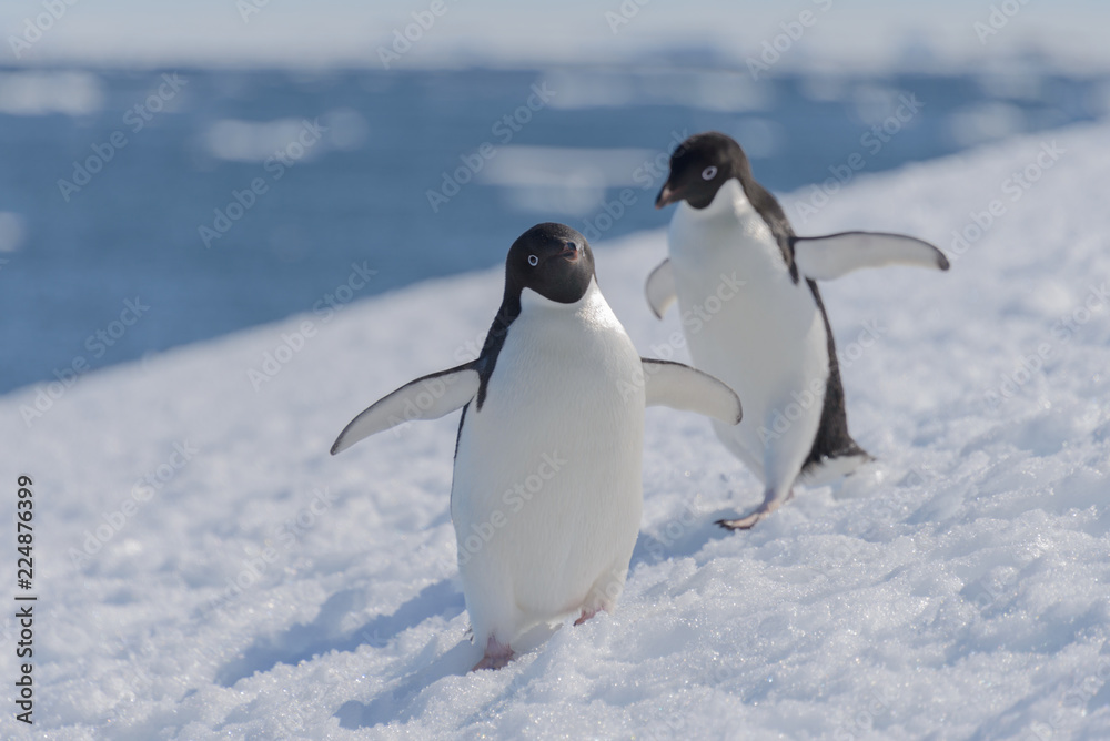 Adelie penguins on beach
