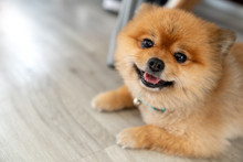 Adorable Pomeranian Dog Smiling Looking At Camera Showing Tongue And Laid Down On Wooden Floor With Natural Sunlight And Copy Space. Cute Pet Toy Or Baby Dog In Feeling Relax In Home Or House Concept.