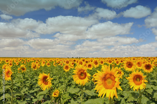 The field of blossoming sunflowers (Helianthus) Wallpaper Mural