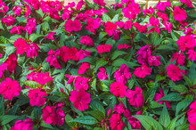 Field Of Pink Flowers Sunpatiens Impatiens  In A Beautiful Garden