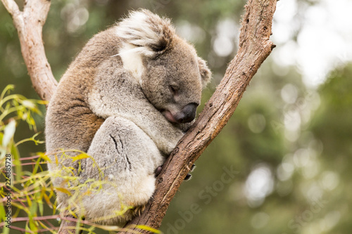 Staande foto Koala Sleeping koala in gum tree