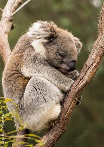 Sleeping koala in gum tree