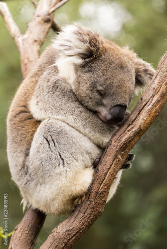 Poster Koala Sleeping koala in gum tree