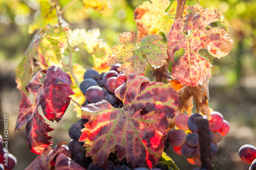Papiers peints Vignoble Autumn and grape harvest: Red leaves in a vineyard