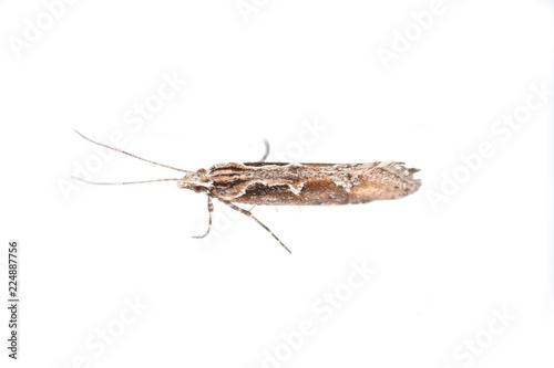 The micro moth Rhigognostis schmaltzella isolated on white background Wallpaper Mural