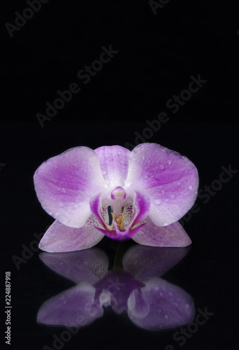 Single purple orchid flower on black background with reflection and copy space