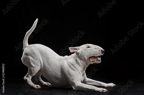 Stampa su Tela Bull Terrier type Dog on black studio background
