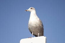 Solitary Seagull Standing In A Road Signal
