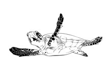 Vector Engraved Style Illustration For Posters, Decoration And Print. Hand Drawn Sketch Of Turtle In Black Isolated On White Background. Detailed Vintage Etching Style Drawing.