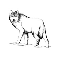 Vector Engraved Style Illustration For Posters, Decoration And Print. Hand Drawn Sketch Of Wolf In Black Isolated On White Background. Detailed Vintage Etching Style Drawing.