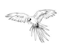 Vector Engraved Style Illustration For Posters, Decoration And Print. Hand Drawn Sketch Of Brazilian Parrot Bird In Black Isolated On White Background. Detailed Vintage Etching Style Drawing.