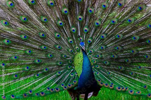 Foto op Plexiglas Pauw peacock peacock Beautiful tail show pattern green spot