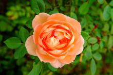 Orange Shrub Rose