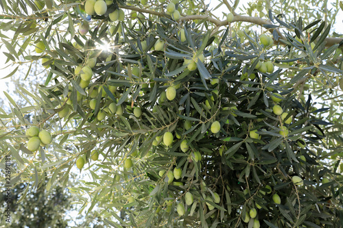 Keuken foto achterwand Olijfboom Olive tree branches with green olives before harvesting.