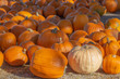In a patch of pumpkins, a single of white pumpkin stands out among the sea of orange.