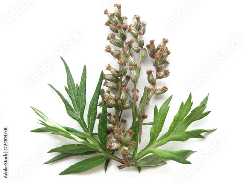 Photo Mugwort (Artemisia vulgaris)