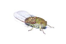Close-up Photo Of Green Cicada...