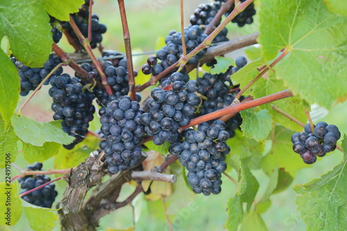 Close-up of ripe grape in vineyard in East Devon