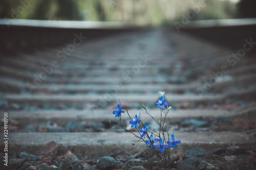 Blue flower grows on railway tracks among the stones. Selective focus.