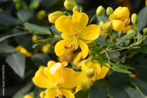 Fotografia Cassia corymbos (Flowering senna)