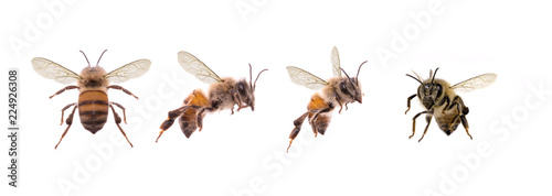 Fotomural bees, flying insect