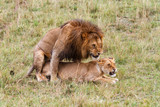Mating couple of lions in the Masai Mara National Park in Kenya