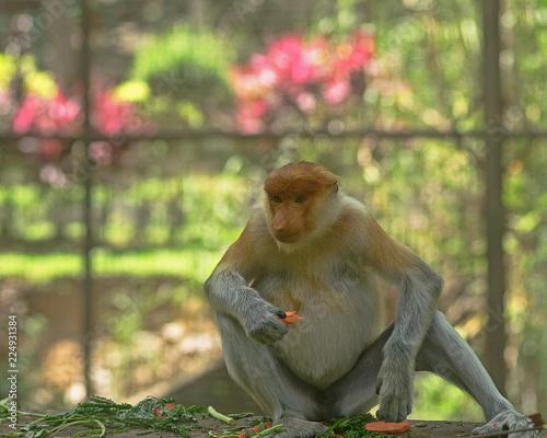 The proboscis monkey (Nasalis larvatus) or long-nosed monkey.