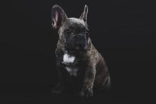 Cute French Bulldog Puppy Portrait