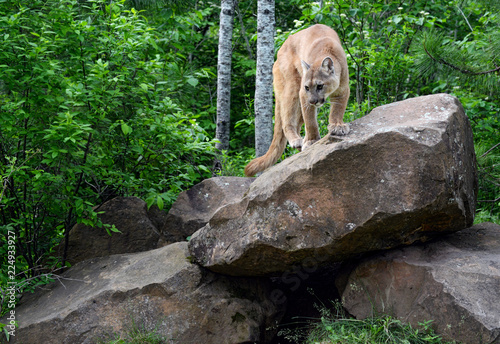 Mountain Lion perched on a large boulder.