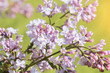 bright lilac bloom on blue sky background / fleeting moment in early summer