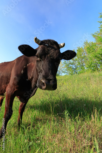 Photo Stands Cow young cow grazing in the meadow / the cow is grazed on a meadow bright summer day