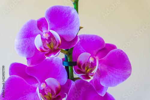 Fotobehang Macrofotografie beautiful purple orchid flower in bloom botanic close up macro isolation