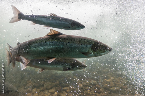 Salmon swimming against river current Fototapeta