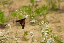Monarch Butterfly On White Wildflower.