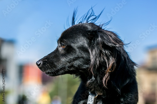 Close up portrait of fluffy black mixed breed dog looking sideways, brown eyes, blue dog collar on, blurry colorful city background with houses, sunny and windy day in a park, clear blue sky