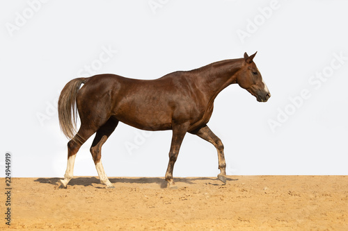 Photo  Brown and red horse galloping on sand on a white background, without people
