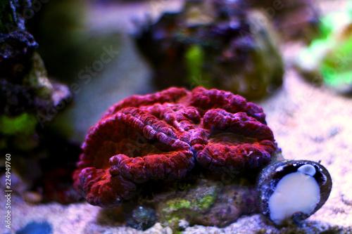 Lobophyllia open brain LPS coral in reef aquarium tank