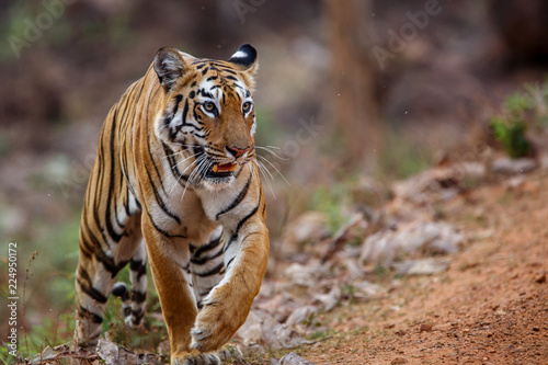 Foto op Aluminium Tijger Female tiger on the move in Tadoba National Park in India